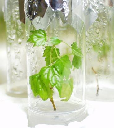 Especie vegetal in vitro