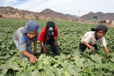 Jornaleros, adultos y ninos de los estados de Guerrero y Michoacan cosechan melones en el municipio de Huetamo, Michoacan. dia 22 de enero 07 foy Ivan Sanchez/LA JORNADA MICHOACAN