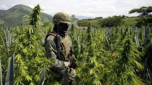 cultivo-de-marihuana-619x348